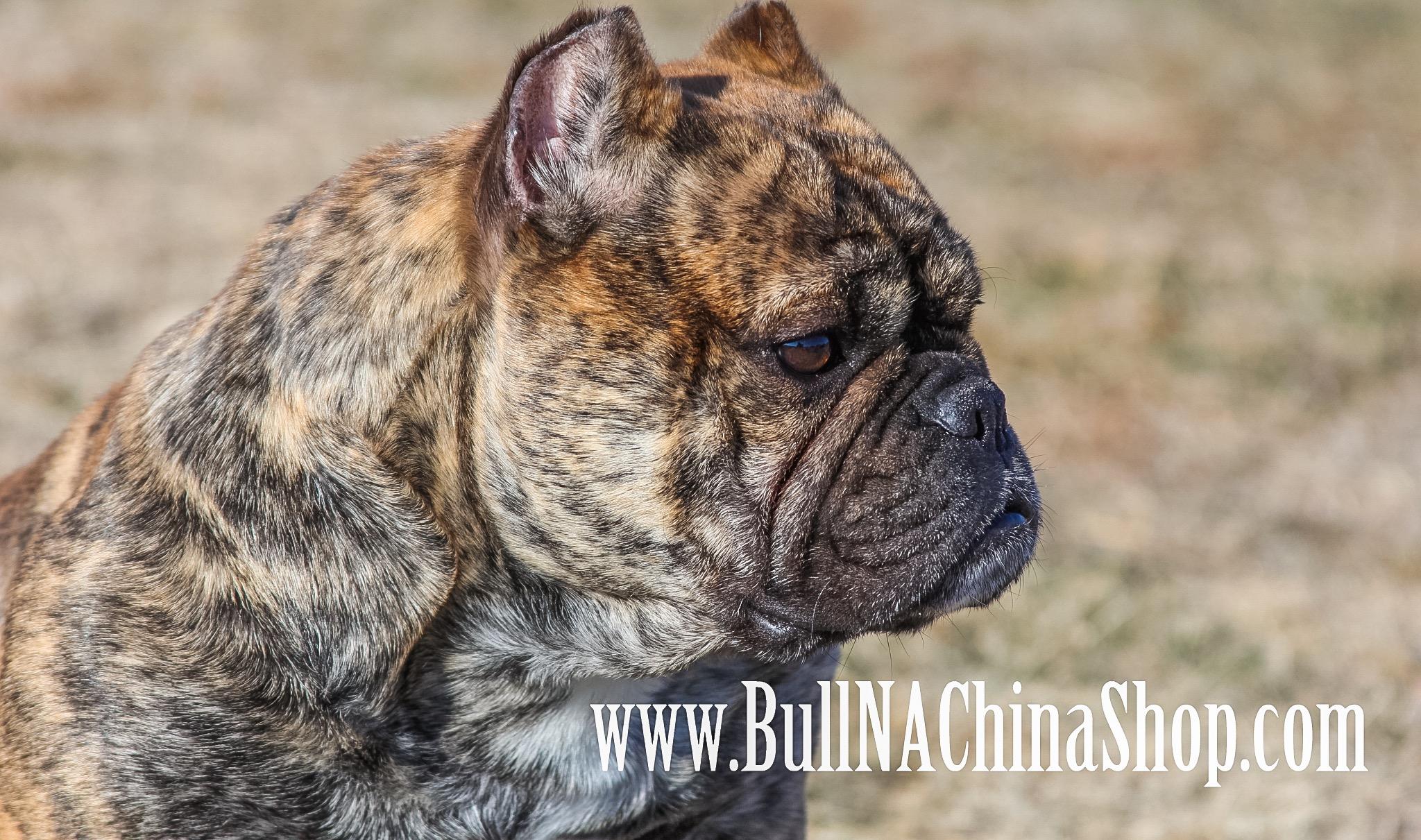 58dd272846 BBC takes firm stance on foundation breedings for SHORTY BULLs! –  www.BullNAChinaShop.com